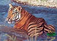 A tiger cools off in the water at Turpentine Creek